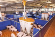 Преимущества оборудования для свиноводства